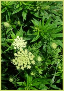 Wildflowers - Queen Anne's Lace