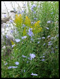 Michigan Wildflowers Goldenrod and Chicory